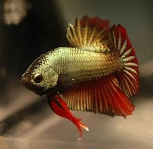 OceansWorld - Bettas(Fighter Fish)
