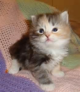 Hypoallergenic Kitten Siberian Cat