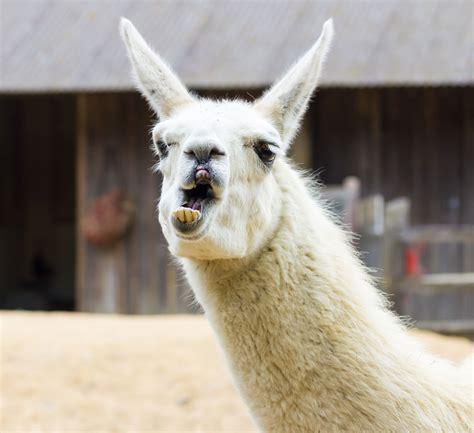 escape artist llama  bid  freedom  golf