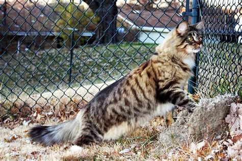 Photos Chat Maine Coon