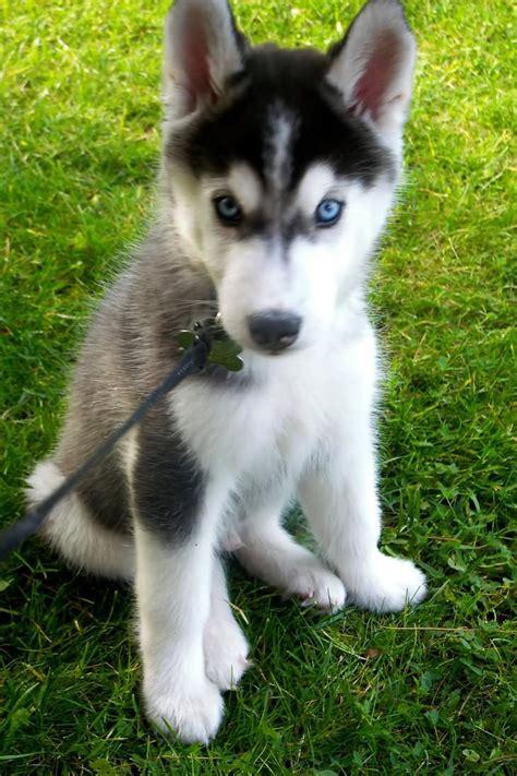 blue eyes siberian husky dog face