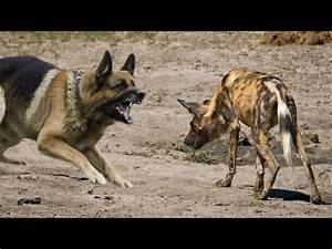 German Shepherd vs African Wild Dog - Who would win in a ...