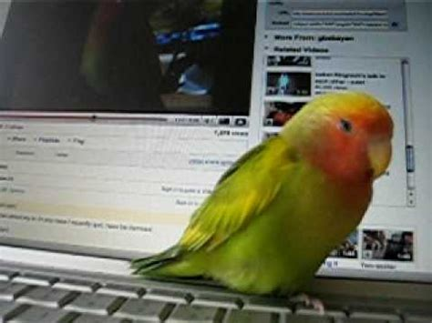 peachfaced lovebird talking doovi