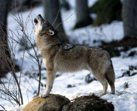 le loupe de bureau j 39 aimerais en savoir plus sur le loup en isère