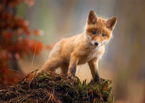 Pretty Animal Wallpaper - fox cub baby animal hd hd animals 4k wallpapers
