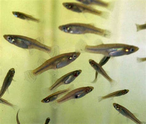 cheap feeder fish extremely cheap feeder fish for sale adoption from
