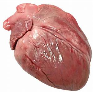 Real Healthy Human Heart | www.pixshark.com - Images ...