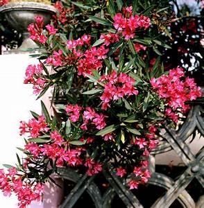 Laurier Rose Entretien : laurier rose planter et entretenir ooreka ~ Melissatoandfro.com Idées de Décoration