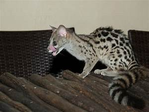 Genets: The Honorary Cats | The Animal Rescue Site Blog