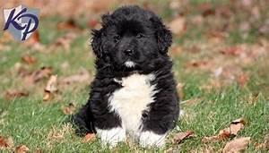 newfoundland puppies price range