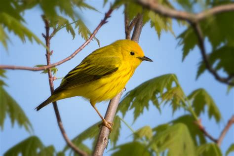 Photographing The Spring Bird Migration At Magee Marsh
