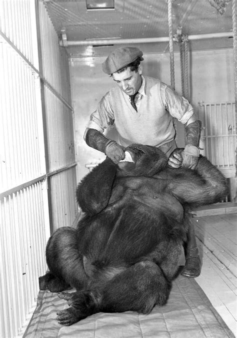 florida memory ringling circus gorilla toto