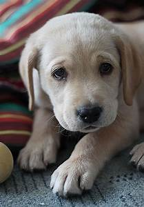 10 Adorable Labrador Retriever Puppies Youve Ever Seen ...