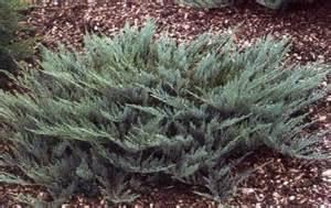 Blue Evergreen Juniper Shrubs