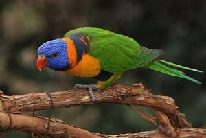 Red-collared lorikeet - Wikipedia  Red