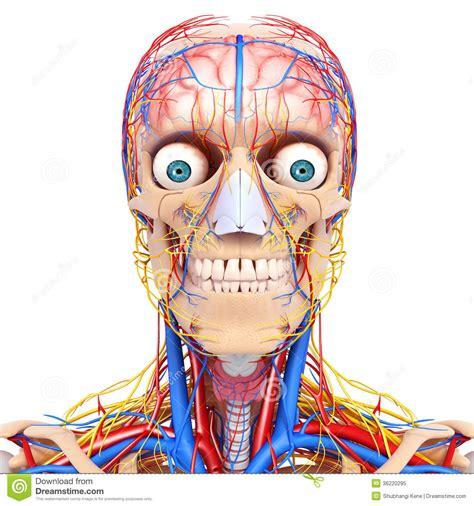 circulatory  nervous system  blue  eyes stock