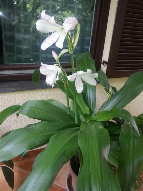 plant     short corn plant