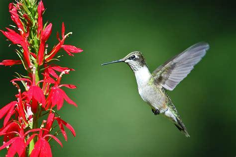 hummingbird flowers ruby throated hummingbird back yard biology