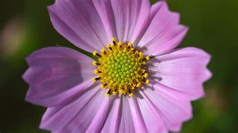 wallpaper pink cosmos flower macro photography