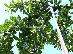 Protection Arbres Fruitiers : soins d 39 t des arbres fruitiers claircissage ~ Premium-room.com Idées de Décoration