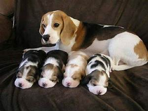 17 Best images about rabbit hunting and beagles on ...