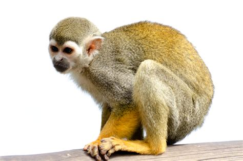 Squirrel Monkey Free Stock Photo Public Domain Pictures