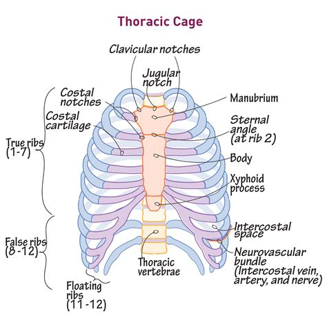 The rib cage is the arrangement of ribs attached to the vertebral column and sternum in the thorax of most vertebrates. Rib Cage Anatomy : Anterior View Of The Skeleton Of The ...