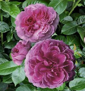 Rosier Grimpant Remontant : rosier grimpant mme isaac pereire plante en ligne ~ Melissatoandfro.com Idées de Décoration