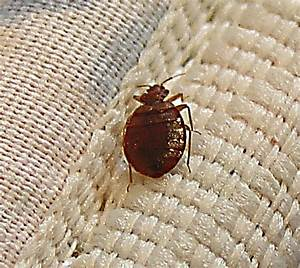 bedbug organic cures natural homeopathic natural bedbug With bugs found in beds