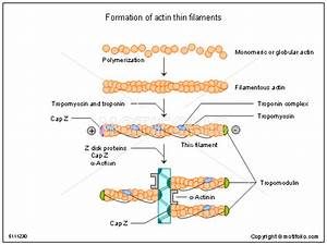 Formation Of Actin Thin Filaments Illustrations