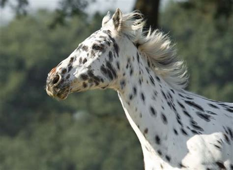 horses  resemble dalmatians horse nation