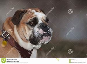 Bulldog Stock Photo - Image: 40025156