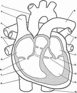 Heart Diagram Drawing At Getdrawings Com