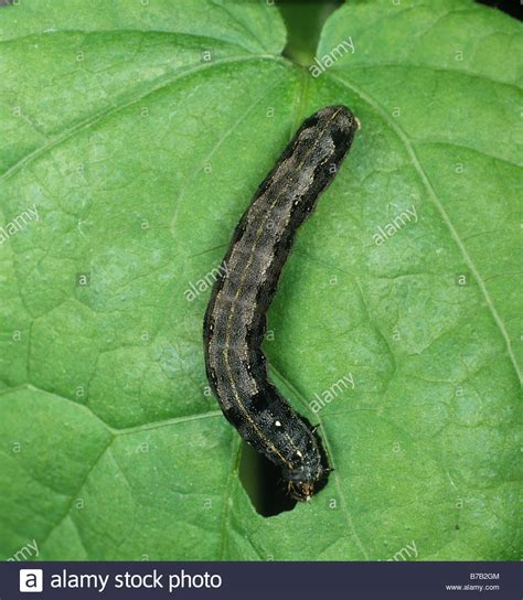 http://www.alamy.com/stock-photo-cotton-leafworm-or-armyworm-spodoptera-littoralis-caterpillar-feeding-21756468.html