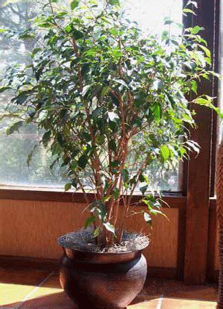ficus house plants eco friendly home decor ideas gold