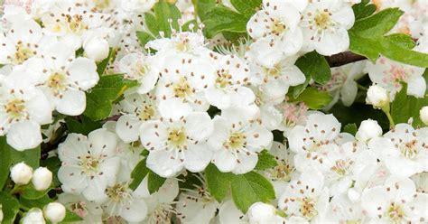hawthorn trees plant crataegus lovethegarden care grow monogyna