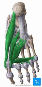 Medial Muscles Of The Sole Of The Foot