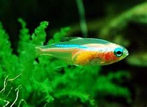 Clear Fish With Neon Stripe
