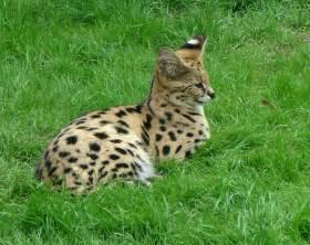 serval cat serval