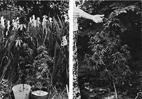culture du cannabis r 233 coltes d hiver pour serres et ext 233 rieur