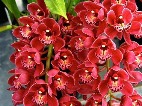 orchid flowering season my orchids journal cymbidium orchids new flowering season