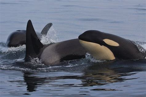 Patti Goldman On Protecting Orca Whales