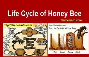 Lifespan Of A Bee  Life Cycle Of Honey Bee Diagram