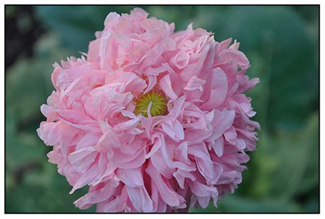 poppy varieties pictures growing with plants an introduction to poppies