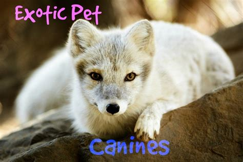 exotic pets domesticated wild dogs non fox kept arctic animals pet dog legal care easy pethelpful