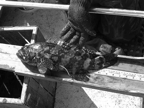 goliath grouper itajara epinephelus juvenile caught tl fish cm trap ten