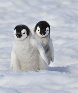 Omg so cute | Cute animals, Cute baby animals, Baby penguins
