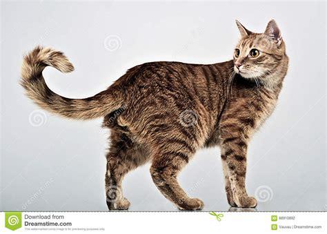 Nice Cat Full Body In Gray Studio Stock Photo