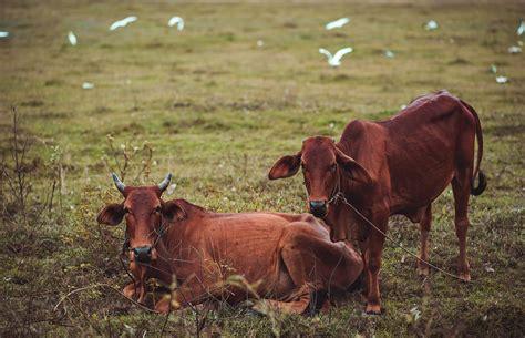 stock photo  animal bull cattle