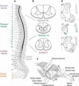 0 1 Basic Features Of Spinal Cord Morphology   A  Location